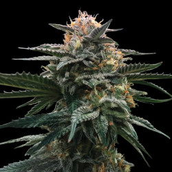 Shark Shock CBD - feminized seeds 5pcs Dinafem