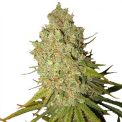 Special Kush n. 1 feminizovaná semínka 3 ks Royal Queen Seeds