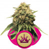 Special Queen n. 1 - feminized 10 seeds Royal Queen Seeds